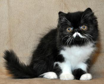 Available Exotic Shorthair Kittens   the shorthaired Persian